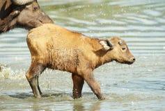 Vitela do búfalo (caffer de Syncerus) com sua matriz Imagem de Stock