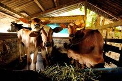 A vitela do bebê para e olha fixamente Foto de Stock