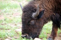 Vitela do bisonte imagens de stock