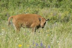 Vitela do bisonte no campo imagens de stock royalty free