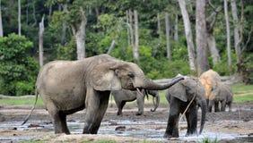 A vitela do elefante é alimentada com leite de uma vaca do elefante Forest Elephant africano, cyclotis do africana do Loxodonta Imagens de Stock Royalty Free