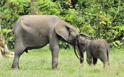 A vitela do elefante é alimentada com leite de uma vaca do elefante Forest Elephant africano, cyclotis do africana do Loxodonta N foto de stock
