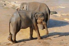 Vitela do elefante foto de stock