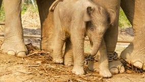 Vitela do elefante com a mãe na luz solar Bebê pequeno de encantamento da posição do elefante perto da mãe na luz solar brilhante video estoque