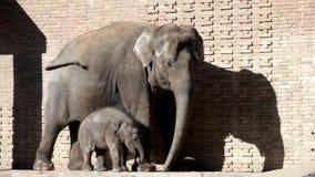 Vitela do elefante e do elefante do bebê na gaiola ao ar livre de um jardim zoológico filme