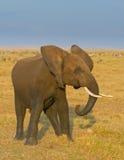 Vitela do elefante, parque nacional do amboseli, kenya fotografia de stock