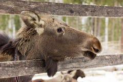 A vitela dos alces no ` s de Sumarokovo cultiva Fotos de Stock Royalty Free