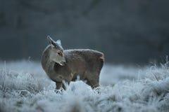 Vitela dos veados vermelhos no inverno Imagens de Stock