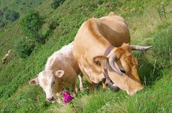 Vitela e vaca Fotos de Stock Royalty Free