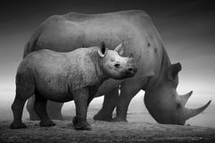 Vitela e vaca do rinoceronte preto Fotografia de Stock