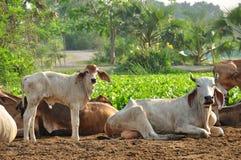 Vitela e vaca na terra Fotografia de Stock Royalty Free