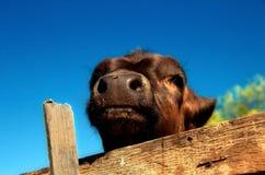 Vitela em um celeiro livestock fotos de stock royalty free