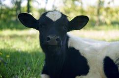 A vitela encontra-se na grama imagem de stock royalty free