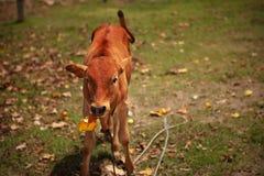 A vitela mastiga a folha Imagem de Stock Royalty Free