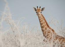 Vitela na poeira, parque nacional do girafa de Etosha, Namíbia Imagem de Stock