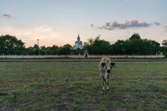 A vitela no prado com um fundo da Buda Imagem de Stock