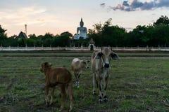 A vitela no prado com um fundo da Buda Fotos de Stock Royalty Free
