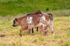 Vitela nova da vaca no campo Fotografia de Stock