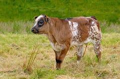 Vitela nova da vaca no campo Foto de Stock Royalty Free