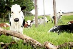 A vitela nova de Nguni morre dentro campo com seu rebanho Imagens de Stock Royalty Free