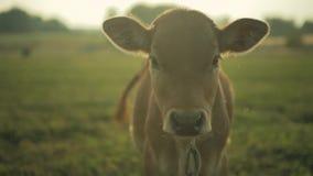 A vitela olha a câmera Exploração agrícola da vaca na manhã vídeos de arquivo
