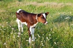 Vitela pequena no prado Foto de Stock