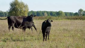 A vitela pequena perto de uma vaca bebe o leite, come Gado que pasta no campo Produção de carne na exploração agrícola Dia morno  vídeos de arquivo