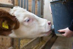 Vitela que alimenta com leite da cubeta imagens de stock