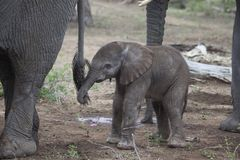 Vitela recém-nascida do elefante, África do Sul Imagens de Stock Royalty Free