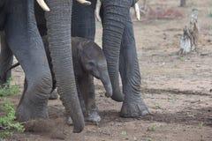 Vitela recém-nascida do elefante, África do Sul Fotografia de Stock