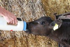 Vitela órfão de alimentação do bebê Fotos de Stock Royalty Free