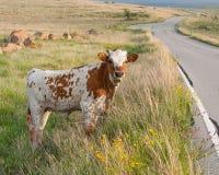 Vitela selvagem de Longhorn em flores da mola imagens de stock royalty free