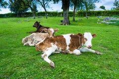 Vitela três que descansa no gramado verde Imagem de Stock
