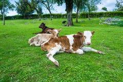 Vitela três que descansa no gramado verde Fotografia de Stock Royalty Free