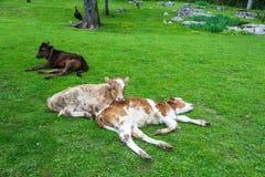 Vitela três que descansa no gramado verde Foto de Stock Royalty Free