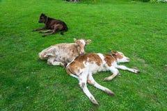 Vitela três que descansa no gramado verde Fotos de Stock Royalty Free