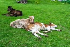 Vitela três que descansa no gramado verde Imagens de Stock
