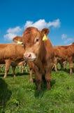 Vitelas de Limousin imagens de stock