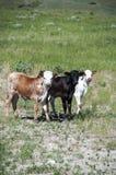 3 vitelas de Longhorn Bull Imagem de Stock Royalty Free