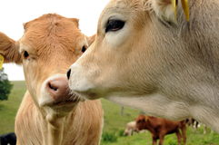 vitelas do gado Fotografia de Stock