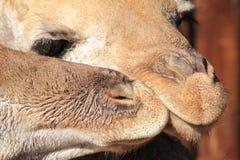 Vitelas do girafa - bebês e órfão animais salvados de África Foto de Stock