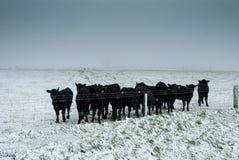 Vitelas frias Fotografia de Stock