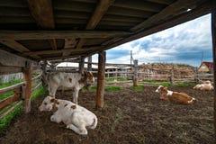 Vitelas recém-nascidas em uma vertente da exploração agrícola imagens de stock royalty free