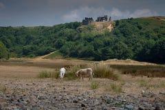Vitelli al castello di Pennard Fotografia Stock