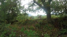 Vitelli curiosi liberi che pascono nella foresta archivi video