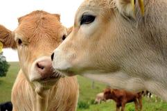 vitelli del bestiame Fotografia Stock