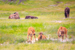 Vitelli del bisonte americano Fotografie Stock Libere da Diritti