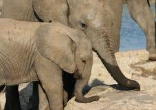 Vitelli dell'elefante Fotografie Stock Libere da Diritti