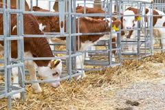 Vitelli della mucca del bambino in una gabbia Fotografia Stock
