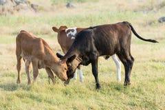 Vitelli della mucca texana al gioco selvaggio Immagini Stock